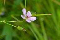 Geranium californicum