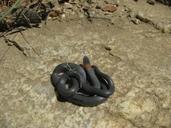 Diadophis punctatus similis