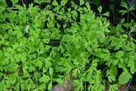 Fumaria parviflora