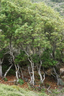 Lyonothamnus floribundus ssp. aspleniifolius