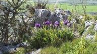 Iris bicapitata