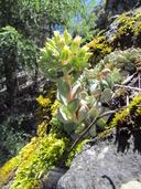 Sedum obtusatum ssp. retusum