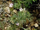 Oxalis decaphylla