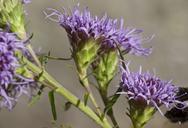 Liatris scariosa var. novae-angliae