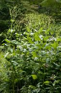 Silphium perfoliatum var. connatum