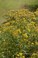 Euthamia graminifolia
