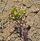 Orthocarpus cuspidatus ssp. cryptanthus