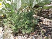 Lomatium dissectum var. multifidum