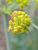 Lomatium multifidum