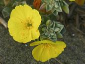 Camissoniopsis cheiranthifolia ssp. cheiranthifolia