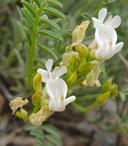 Astragalus whitneyi