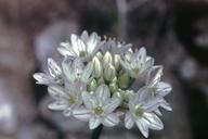 Allium tuolumnense