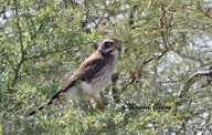 Spot-winged Falconet Halconcito Gris