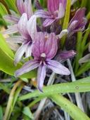 Orobanche californica ssp. grayana