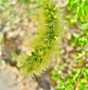 Acacia greggii