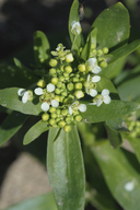 Lepidium jaredii ssp. album