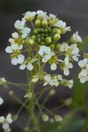 Lepidium jaredii ssp. album