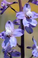 Delphinium recurvatum