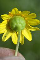 Lasthenia glabrata