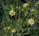 Potentilla glandulosa ssp. glandulosa
