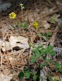 Potentilla glandulosa ssp. reflexa