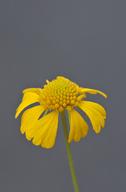 Helenium amarum var. amarum