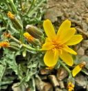 Crepis occidentalis ssp. conjuncta
