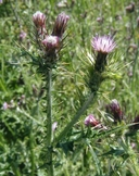Carduus pycnocephalus ssp. pycnocephalus