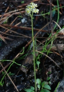 Micranthes nidifica