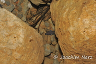 Proteus anguinus parkelj