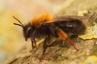 Andrena clarkella
