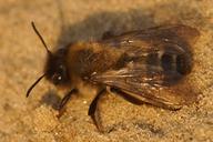 Andrena nycthemera