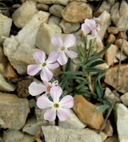 Long-leaved Phlox