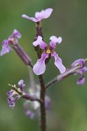 Chorispora tenella