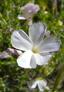 Linanthus dichotomus ssp. dichotomus