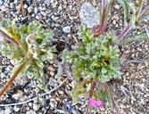 Gilia cana ssp. cana