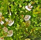 Trifolium monanthum ssp. monanthum
