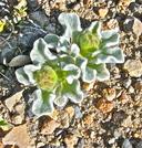 Hulsea vestita ssp. vestita