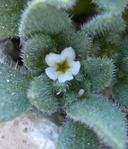 Nama californicum