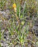Agoseris glauca var. monticola