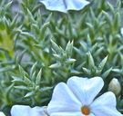 Phlox hoodii ssp. canescens