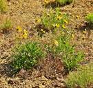 Helianthus cusickii