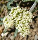 Lomatium nevadense