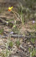 Camissonia integrifolia