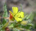 Camissoniopsis robusta