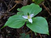 Trillium ovatum ssp. ovatum