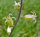 Caulanthus flavescens