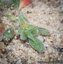 Chorizanthe orcuttiana
