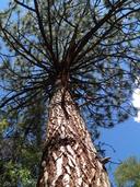 Pinus ponderosa var. arizonica
