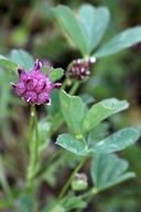 Trifolium depauperatum var. truncatum